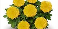 Bolchrysant Geel