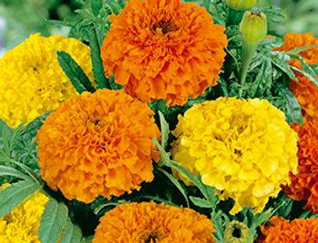 Tagetes grootbloemig Sierra oranje en geel