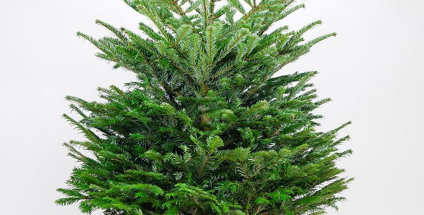 Kerstboom Nordmann gezaagd +- 125cm
