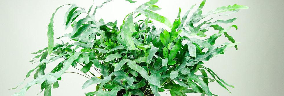 Phlepodium blue star ( p19cm)   blauwvaren