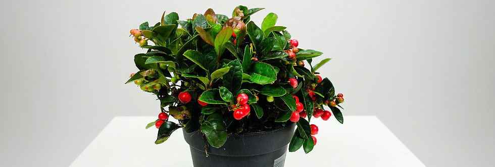 Gaultheria  (P15cm) Bergthee