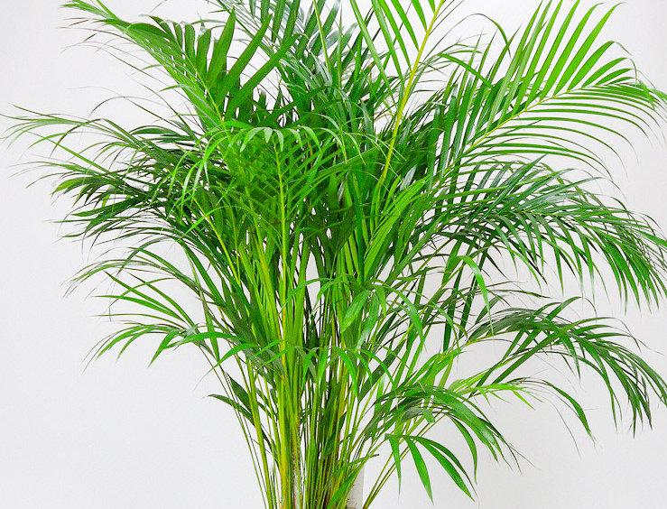 Areca Dypsis  (Goudpalm)