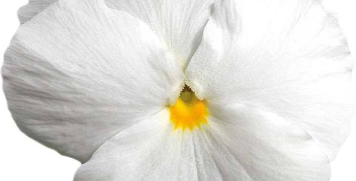 Viooltje grootbloemig wit