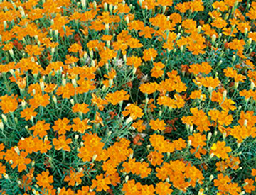 Tagetes Sterafrikaantje oranje