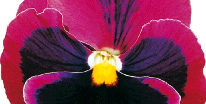 Viooltje grootbloemig roze-zwart