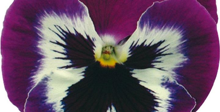 Viooltje grootbloemig paars-wit