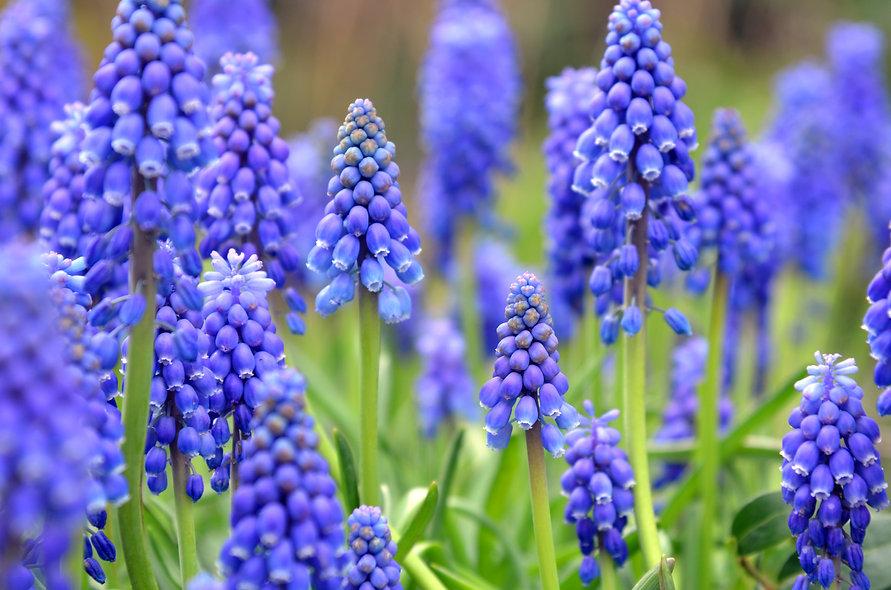 Tender blue muscari flowers, Keukenhof,