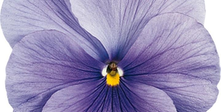 Viooltje grootbloemig azuurblauw