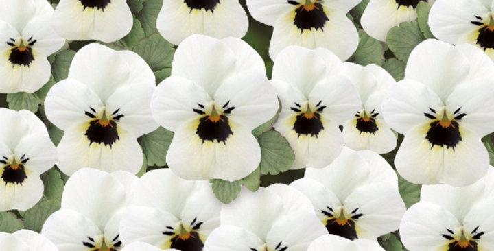 Viooltje kleinbloemig wit-zwart