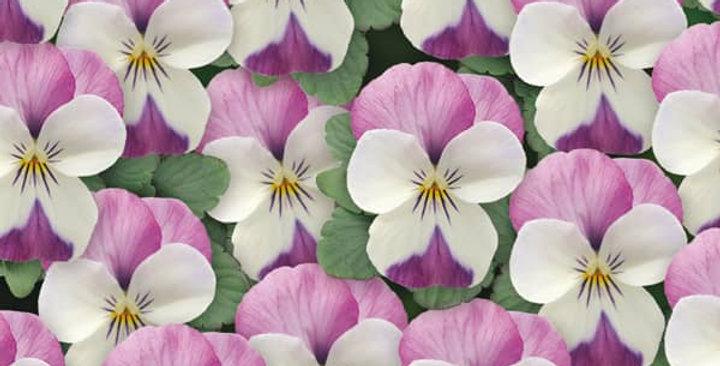 Viooltje kleinbloemig lila-wit