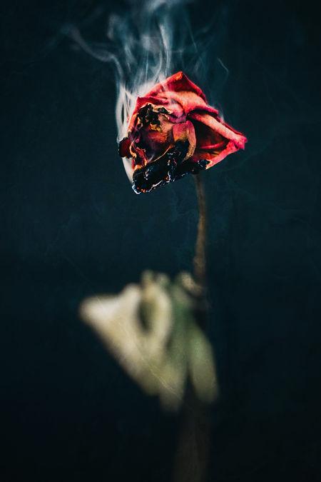GE edit burning rose.jpg