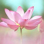 Fleur-de-LotusRose.jpg