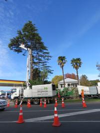 Large Cedar dismantle - Te Awamutu