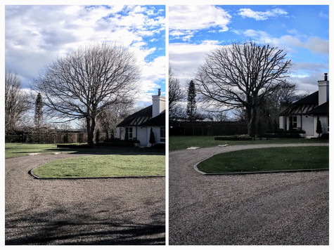 Before and after - Large English Oak tree reduction and re-shape