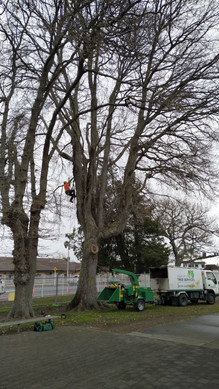 Dead wood removal - Oaks - Frankton School