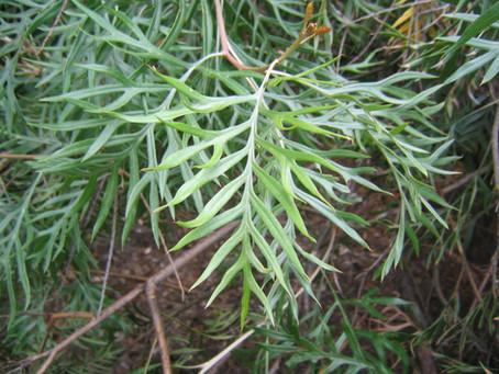 Silky Oak - Skin irritation