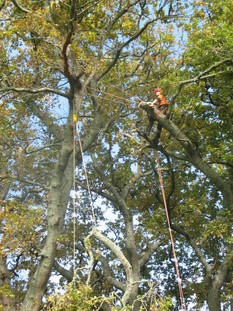 Large Oaks - removing dangerious limbs using rigging techniques - Cambridge