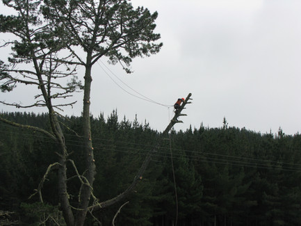 Pine Tree - dangerous limb removal over power lines