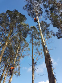 Gum Trees dismantled - Te Pahu