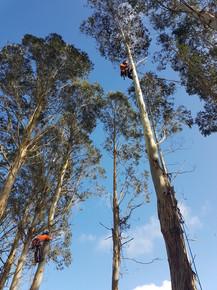 Gum Trees dismantled - Te Pahu