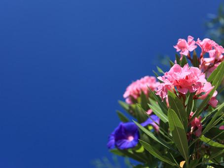 Deadly Oleander