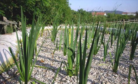 Estanque de macrofitas