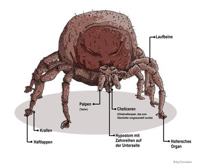 Anatomie Zecke
