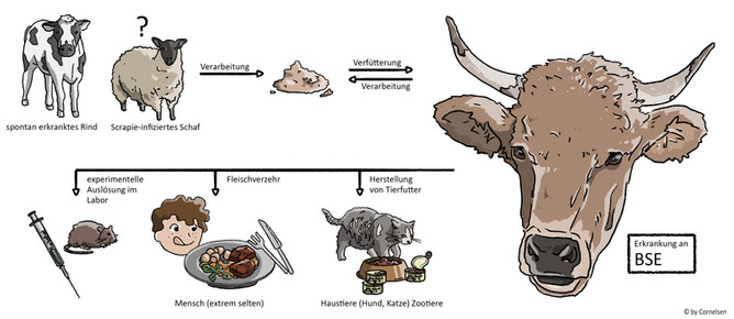 Darstellung der Ursachen einer BSE Erkrankung