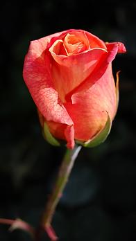 Rose image.png