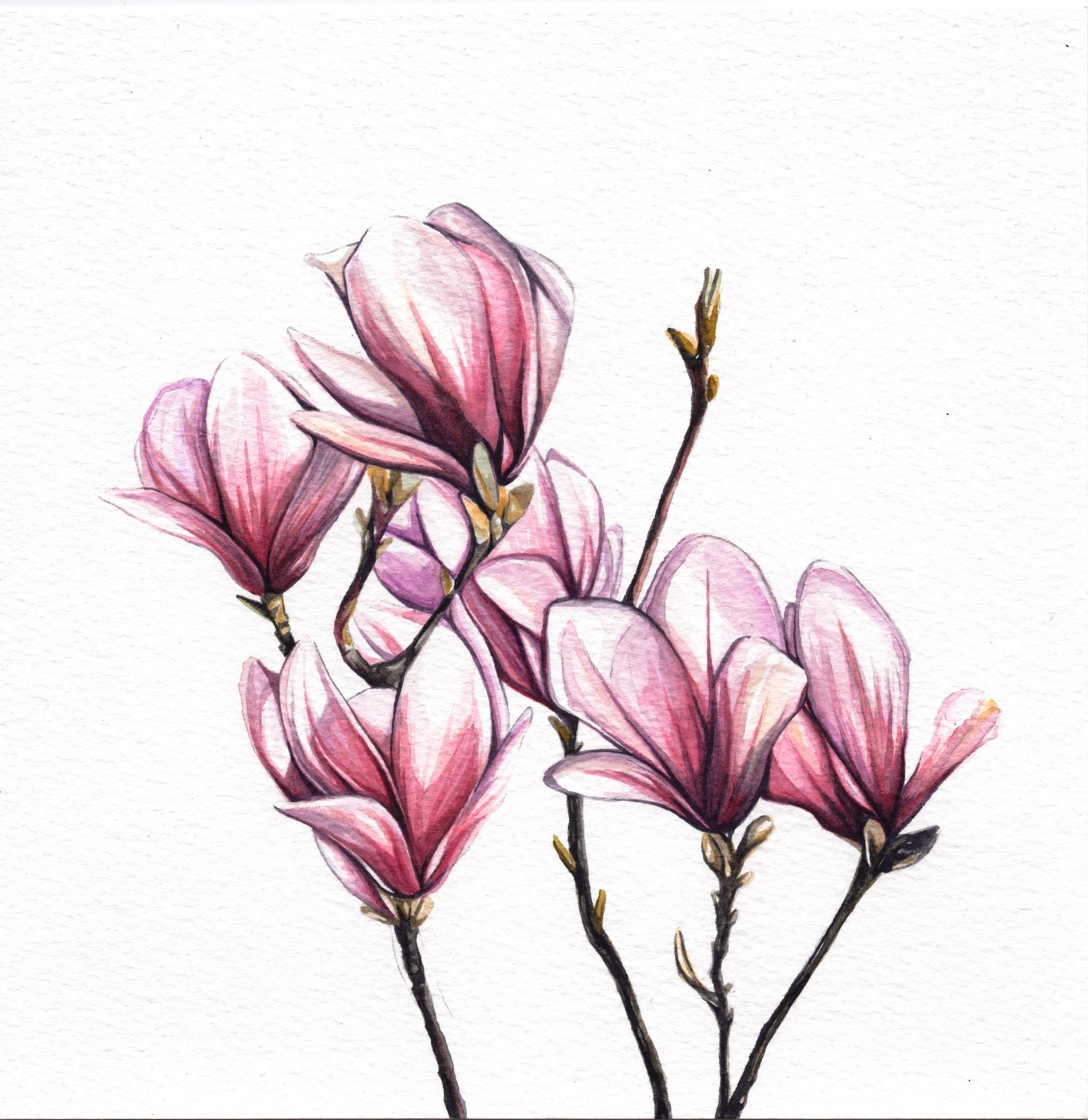 Magnolia Blossoms Watercolour