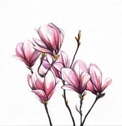 Magnolia Blossoms Watercolour