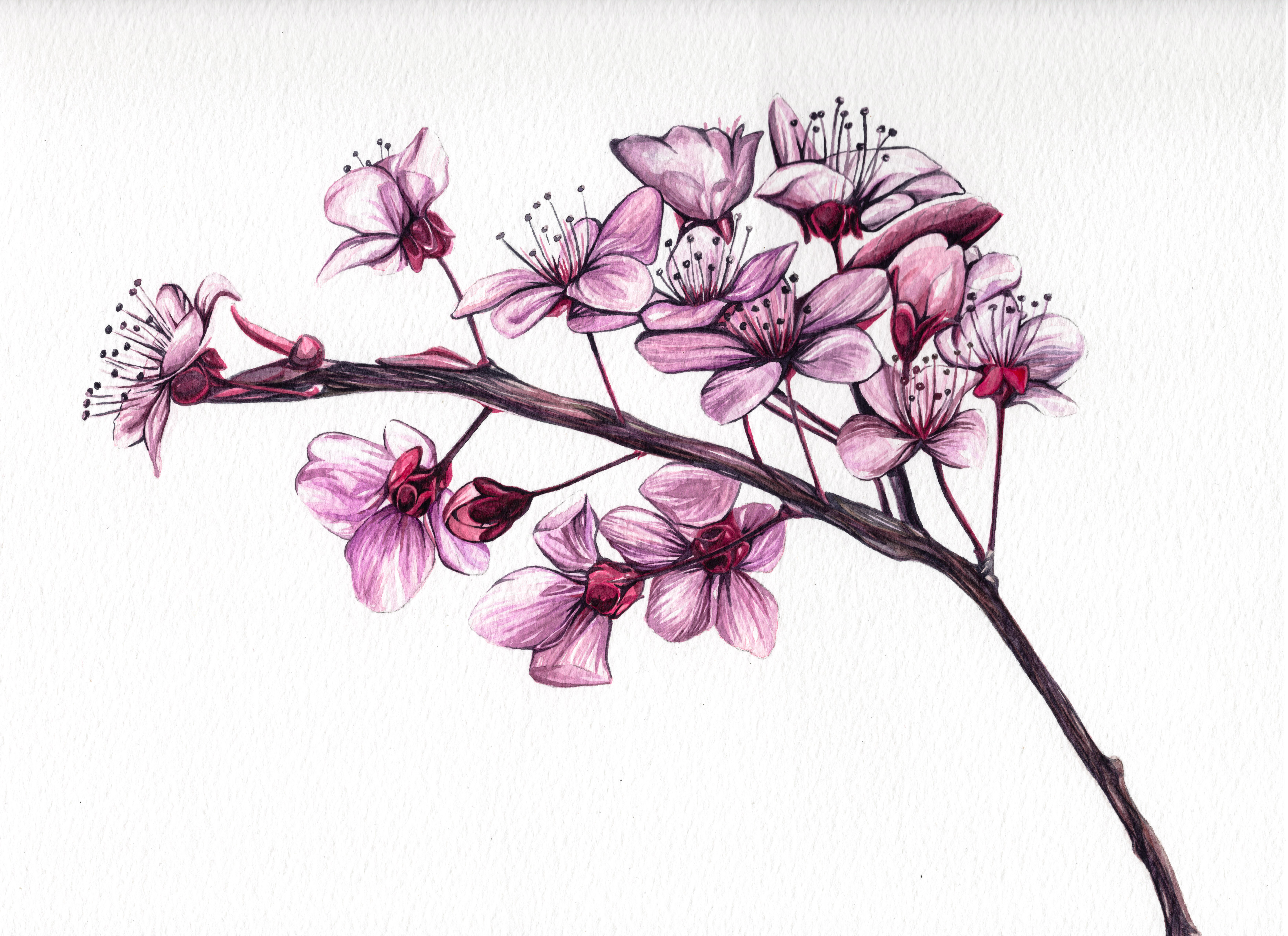 Cherry Blossoms Watercolour Painting