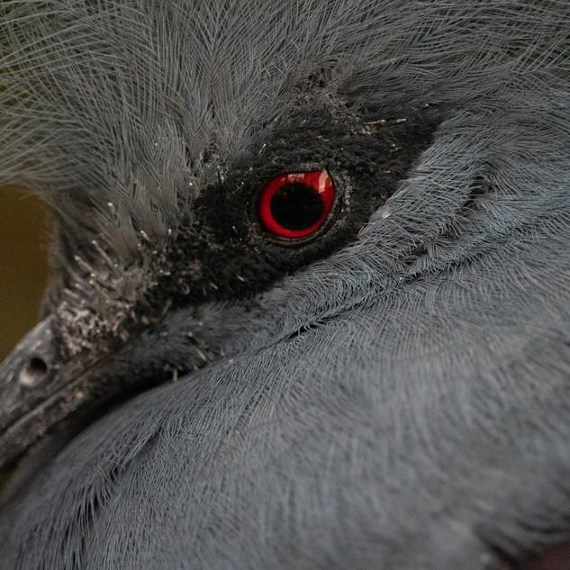 Blue-crowned pigeon