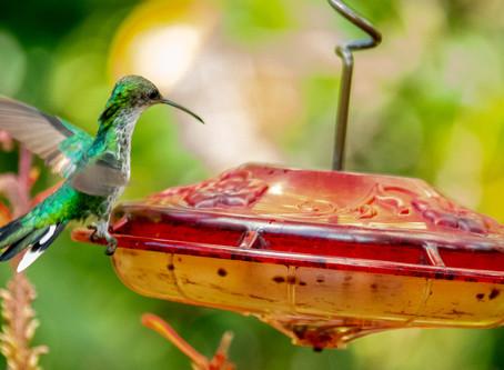 Colibris alias oiseaux mouches
