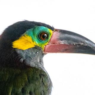 Guyana Toucanet
