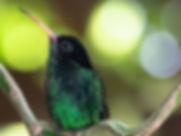 Colibris - oiseau mouche