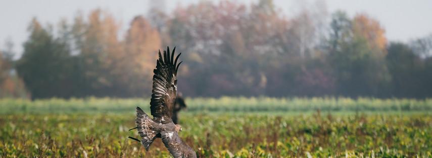 Steinadler bei der Jagd