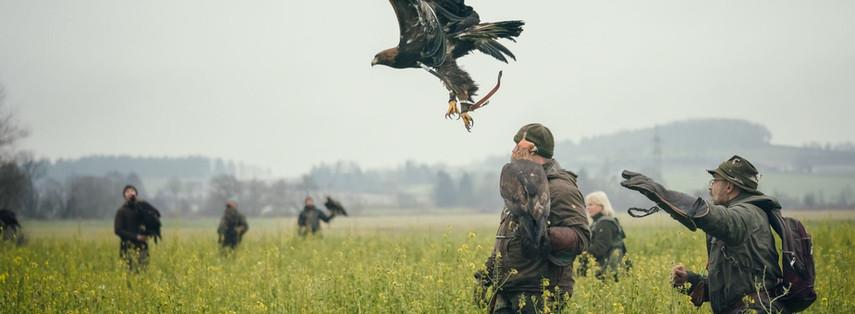 Steinadler bei der Jagd.