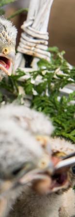 Fütterung der Jungvögel