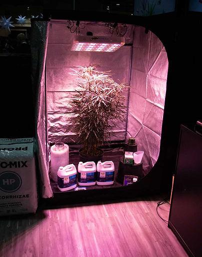 An indoor growing setup at the Golden Ac