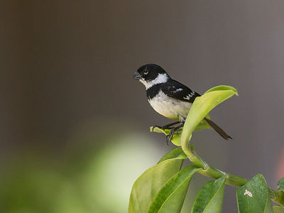 Collared-Seedeater.jpg