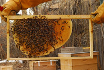 foundationless with honey comb.jpg