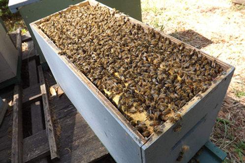NY Bee Nucleus Colony - Overwintered