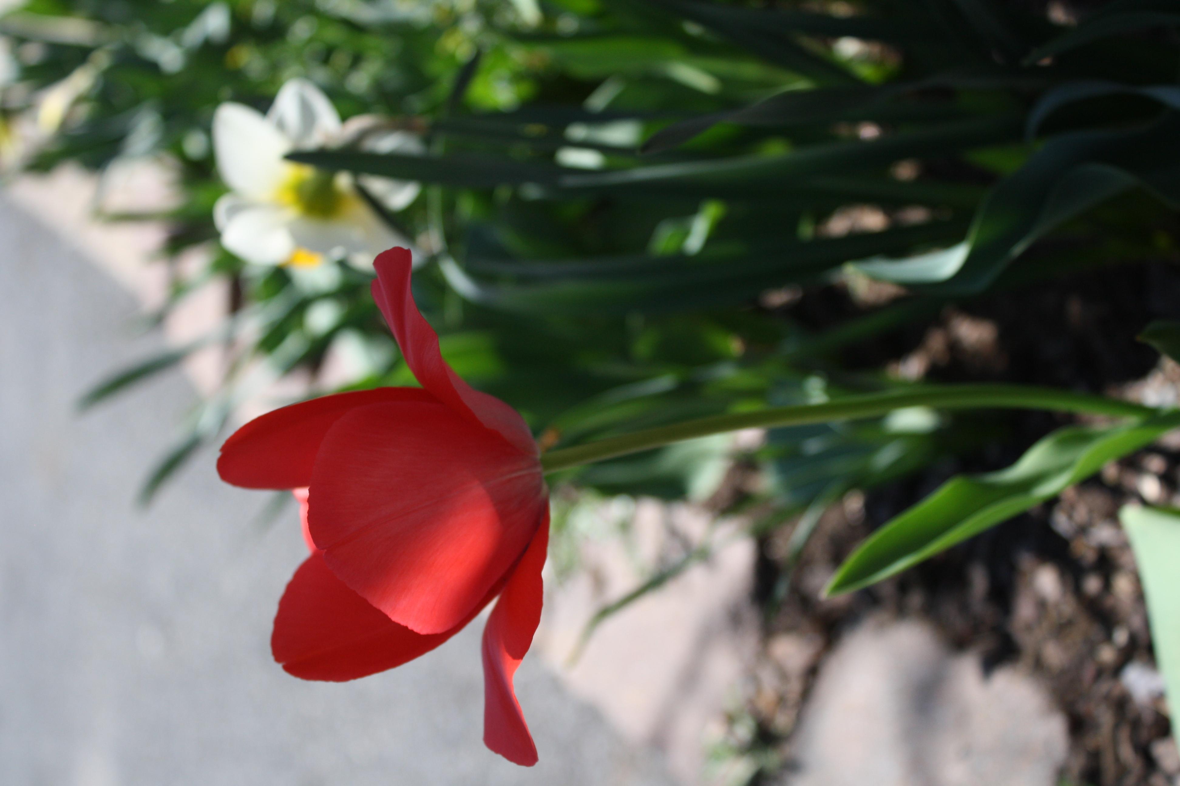 Baltimore Tulips