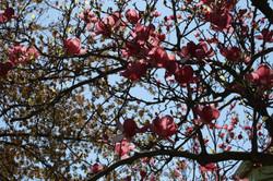 Baltimore Blossoms