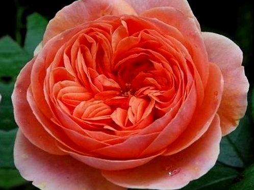 """Роза Чайно-гибридная """"Чиппендейл"""" Chippendale"""