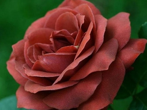"""Роза Чайно-гибридная """"Теракотта"""" Terracotta"""