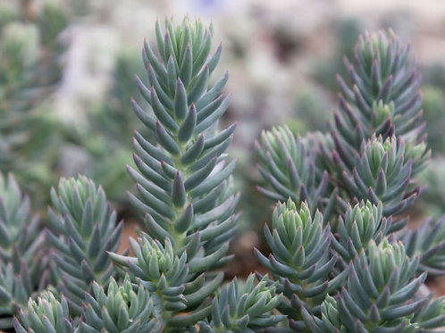 "Седум ""Blue spruce"""