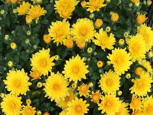"""Хризантема мультифлора """"Brandroyal Yellow"""""""