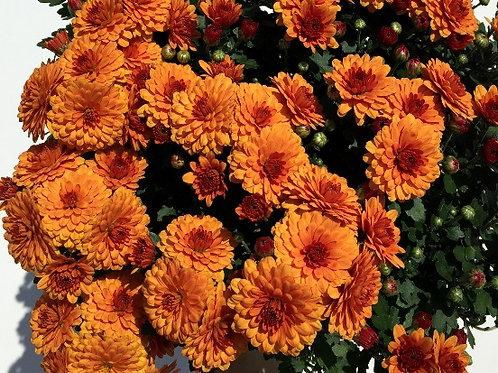 "Хризантема мультифлора ""Branbeach Orange"""